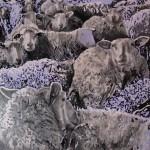 zadnje-ovce-09